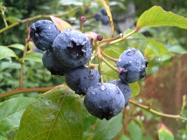 Bilberry P.E. 25% - Chinese - 1601 Image