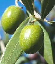Olivir Olive Leaf 15% P.E., 15% Oleuropein - 5805 Image