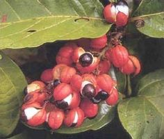 Guarana 22% Water Soluble, 22% Alkaloids (Caffeine) - 4365 Image