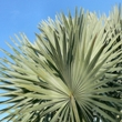 Saw Palmetto 85-95% Oil - 6550 Image